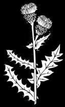 Ku Cirsium Arvense